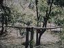 베트콩의 위장한 쇠뇌 부비 트랩 - Vietcong,s camouflaged crossbow booby Trap