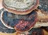 소나무상황버섯 판매/ 소나무잔나비걸상버섯 판매