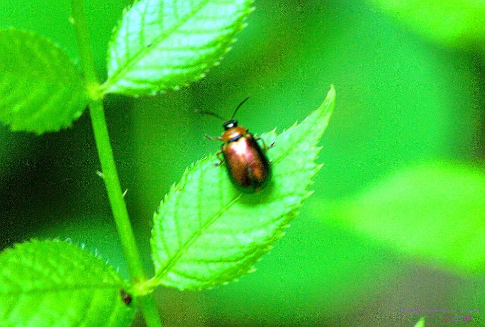 노랑가슴녹색잎벌레